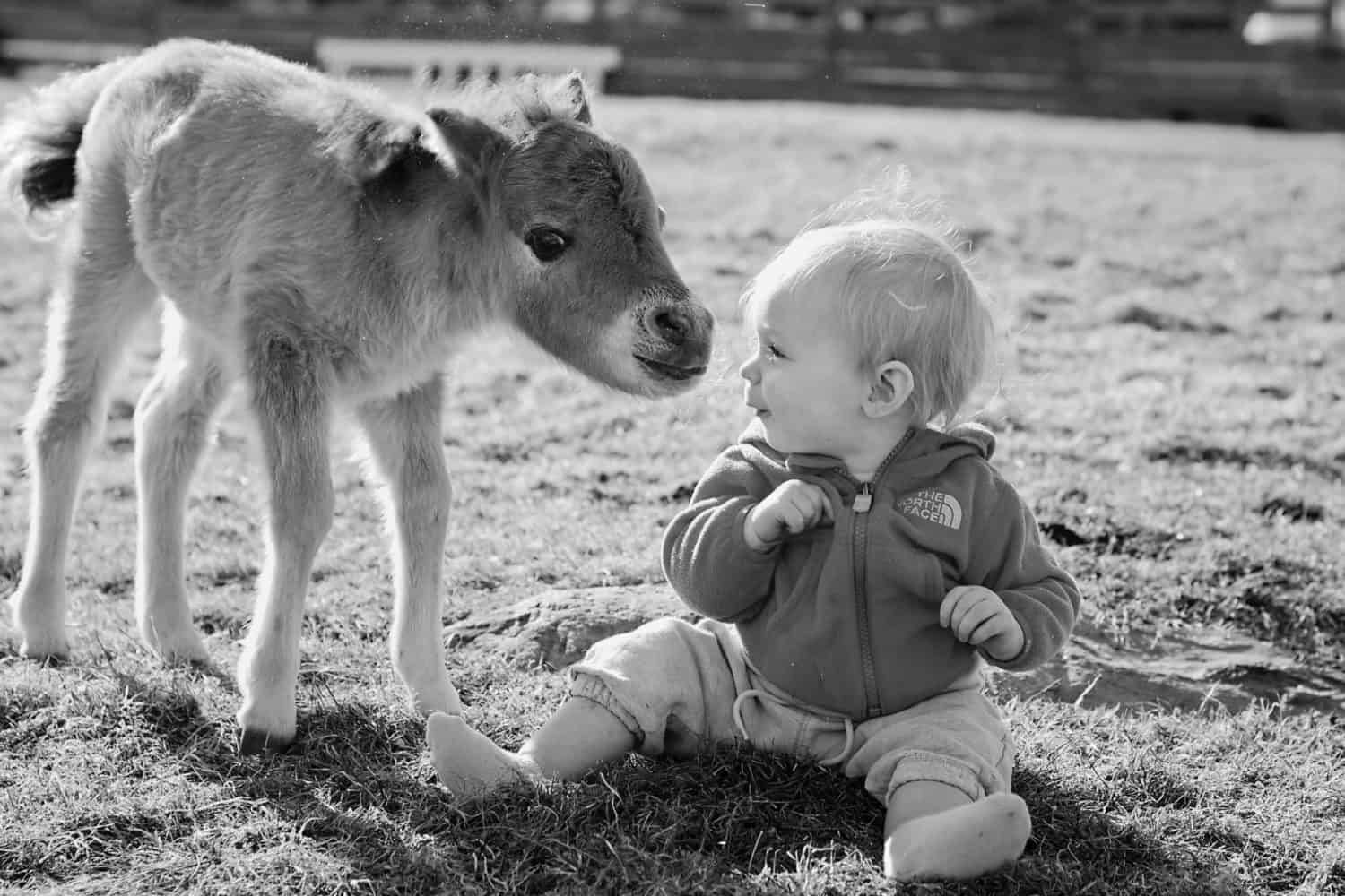 Black and white photo of baby miniature horse sniffing the nose of baby in a pastures